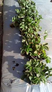 Strawberry Seedlings For Sale | Meals & Drinks for sale in Kiambu, Juja