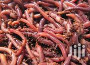 Red Worms Best Worm For Composting | Feeds, Supplements & Seeds for sale in Homa Bay, Mfangano Island