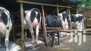 Pure Hosten And Freshian Breed Incalf Heifers N Lactating Cows On Sale | Livestock & Poultry for sale in Busia, Bunyala West (Budalangi)