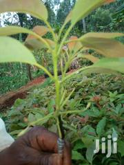 Hass Avocado Seedlings | Meals & Drinks for sale in Kiambu, Hospital (Thika)