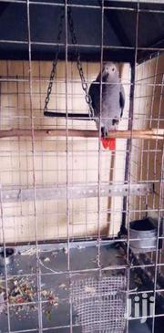 Kasuku Plz Don'T Ask About The Age I'M Not A Vet | Birds for sale in Mombasa, Tononoka