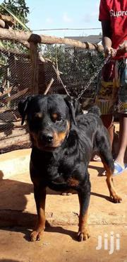 Rottweiler Stud Services | Dogs & Puppies for sale in Kiambu, Ting'Ang'A