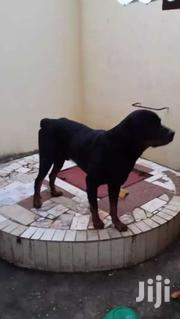 Rotweiller Male Cross Doberman 3 Nd Half Year Old | Dogs & Puppies for sale in Kilifi, Malindi Town