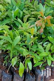 Hass Avocado Seedlings | Feeds, Supplements & Seeds for sale in Kiambu, Hospital (Thika)