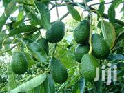 Hass Avocado Seedlings | Building & Trades Services for sale in Kiambu, Hospital (Thika)