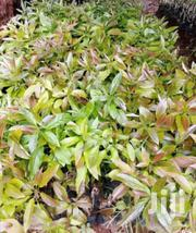 Hass Seedlings | Meals & Drinks for sale in Kiambu, Hospital (Thika)