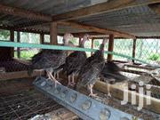 Turkey Poults | Livestock & Poultry for sale in Mombasa, Shimanzi/Ganjoni
