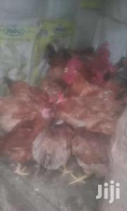Chicken Livestock & Poultry in Kenya for sale ▷ Prices on
