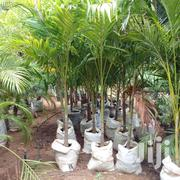 Ornamental Palms | Home Accessories for sale in Kilifi, Malindi Town