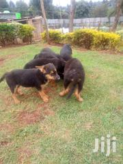 Pedigree German Shephards | Dogs & Puppies for sale in Kericho, Ainamoi
