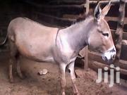 Donkey | Other Animals for sale in Kiambu, Karuri