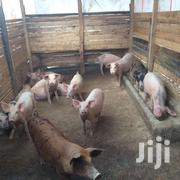 Piglets For Sale | Livestock & Poultry for sale in Laikipia, Marmanet