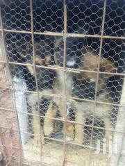 Gsd Pups | Dogs & Puppies for sale in Nakuru, Gilgil