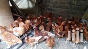 Laying Point Layers | Livestock & Poultry for sale in Nakuru, Bahati