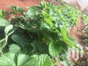 Strawberry Plants | Meals & Drinks for sale in Nairobi, Nairobi Central
