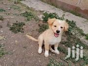 Adorable Japanese Spitz Puppies | Dogs & Puppies for sale in Machakos, Athi River
