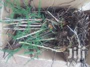 Grow Your Own Asparagus. Its Food For Men And Women Mood | Feeds, Supplements & Seeds for sale in Nairobi, Ngando