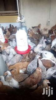 2 Months Old Improved Kenyeji Chicks | Livestock & Poultry for sale in Busia, Nambale Township