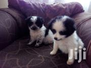 Spitz/Maltese Puppies | Dogs & Puppies for sale in Uasin Gishu, Kapsoya