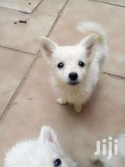 Japanese Spitz | Dogs & Puppies for sale in Kiambu, Juja