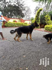 Pure German Shepherd Dog For Sale | Dogs & Puppies for sale in Kiambu, Ting'Ang'A