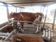 Dairy Cow For Sale | Livestock & Poultry for sale in Machakos, Kalama