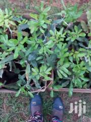 Macademia (Muran'ga 20) Variety Availab | Feeds, Supplements & Seeds for sale in Embu, Mbeti North