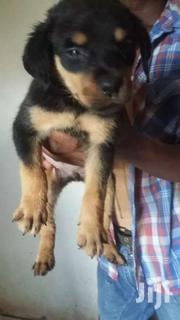 8weeks Female Rottweiller   Dogs & Puppies for sale in Mombasa, Shanzu