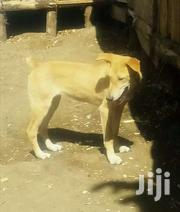 A Dog | Dogs & Puppies for sale in Nakuru, Gilgil