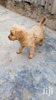 Golden Retriver Puppies | Dogs & Puppies for sale in Nairobi, Roysambu