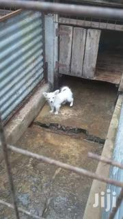 Female Japanese Spits Puppy | Dogs & Puppies for sale in Kiambu, Gitothua