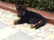 German Shepherd | Dogs & Puppies for sale in Kiambu, Ndenderu