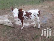 Fleckvieh/Ayshire Cross | Livestock & Poultry for sale in Machakos, Kalama