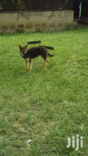 Pure GSD Female | Dogs & Puppies for sale in Machakos, Machakos Central