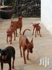 Pinscher Dogs | Dogs & Puppies for sale in Kilifi, Malindi Town