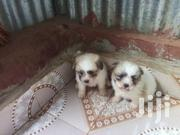 Maltese Puppies | Dogs & Puppies for sale in Kiambu, Kihara
