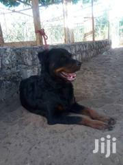 Gsd,Rott,Grate Dane,Mastiff | Dogs & Puppies for sale in Kilifi, Tezo