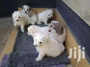 Japanese | Dogs & Puppies for sale in Kiambu, Ndenderu