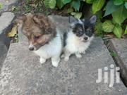 Japanese Spitz Puppies | Dogs & Puppies for sale in Nairobi, Embakasi