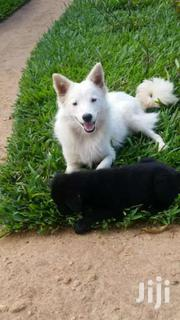 Japanese Pitz Puppies   Dogs & Puppies for sale in Mombasa, Likoni