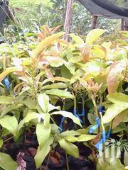 Hash Ovacado Seedlings | Feeds, Supplements & Seeds for sale in Murang'a, Ruchu