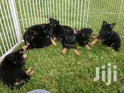 German Shepherd Puppies | Dogs & Puppies for sale in Kiambu, Murera