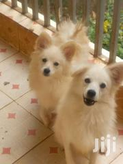 Male Japanese Spitz | Dogs & Puppies for sale in Nairobi, Kitisuru
