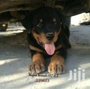Awesome Rottweiler Puppies | Dogs & Puppies for sale in Machakos, Athi River