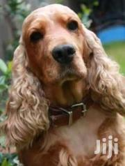Golden Cocker Spaniel Pups | Dogs & Puppies for sale in Nairobi, Kitisuru
