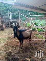 French Alpine Male Breeder | Livestock & Poultry for sale in Nyeri, Wamagana