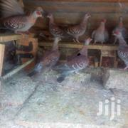 Wild Speckled Pigeon | Birds for sale in Nairobi, Embakasi
