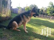 German Shepherd (Stud Service) | Dogs & Puppies for sale in Kajiado, Ongata Rongai