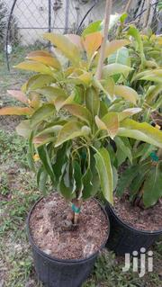 Avocado Grafted Seedling (Hass) Ready For Plantation On Sale Kandara | Feeds, Supplements & Seeds for sale in Murang'a, Kagundu-Ini