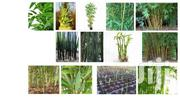 Bamboo Seedlings | Feeds, Supplements & Seeds for sale in Kisumu, West Kisumu